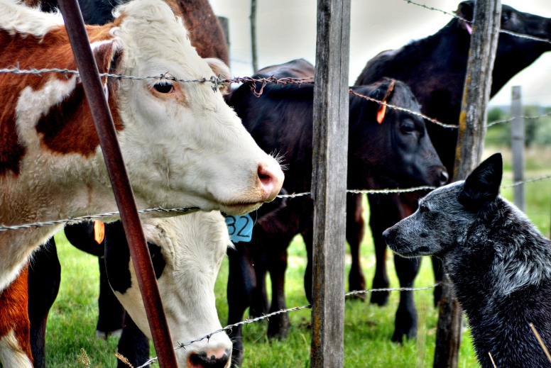 cattle on a farm with ranch insurance